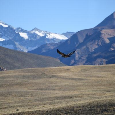 Cóndor (Vultur Gryphus).