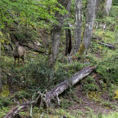 Chance encounter with a Huemul (Hippocamelus bisulcus - South Andean Deer).