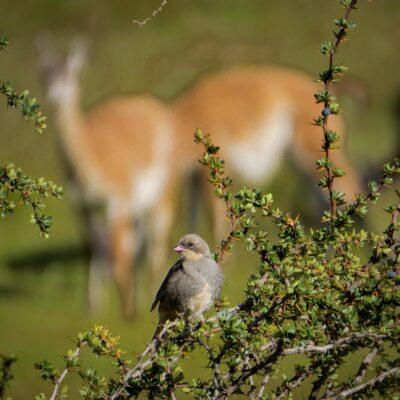 Common Diuca finch (Diuca diuca) and Calafate bush (Berberis microphylla - Magellan barberry) in Valle Chacabuco.